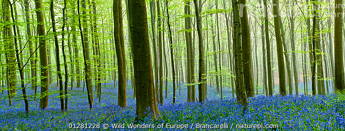 Hallerbos forest with flowering Bluebells(Hyacinthoides non-scripta / Endymion non-scriptum) Belgium, Aril 2009, digital composite, BELGIUM, BLUE, EUROPE, FLOWERS, FORESTS, LANDSCAPES, LILIACEAE, Maurizio-Biancarelli, MONOCOTYLEDONS, PANORAMIC, PLANTS, TREES, TRUNKS, WOODLANDS, WWE, Wild Wonders of Europe / Biancarelli