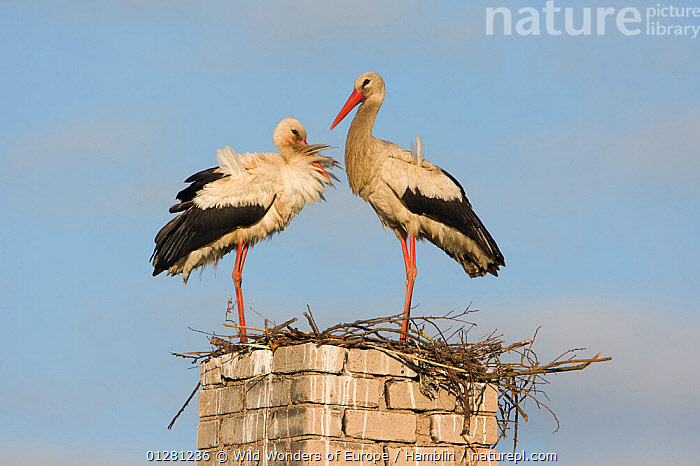 White stork (Ciconia ciconia) pair at nest on old chimney, Rusne, Nemunas Regional Park, Lithuania, June 2009  ,  BIRDS,EUROPE,LITHUANIA,MARK HAMBLIN,NESTS,RESERVE,STORKS,VERTEBRATES,WWE  ,  Wild Wonders of Europe / Hamblin