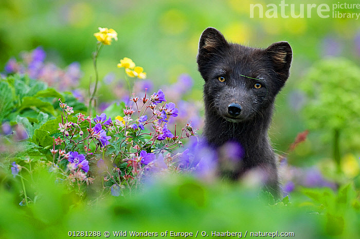 Arctic fox (Alopex lagopus) in wild flower meadow, dark summer phase, Hornstrandir, Iceland, July 2008, CANIDS,CARNIVORES,EUROPE,FLOWERS,FOXES,HEADS,ICELAND,MAMMALS,MEADOWLAND,ORSOLYA HAARBERG ,PORTRAITS,VERTEBRATES,WWE,Grassland,Dogs, Wild Wonders of Europe / O. Haarberg