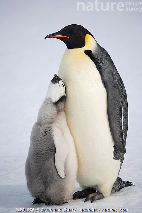 Emperor penguin (Aptenodytes forsteri) chick begging hard for food from a parent. Snow Hill Island, Antarctica, October.  ,  AFFECTIONATE,ANTARCTICA,BEHAVIOUR,BIRDS,CHICKS,FLIGHTLESS,PENGUINS,POLAR,SEABIRDS,VERTEBRATES,VERTICAL,concepts  ,  Bryan and Cherry Alexander