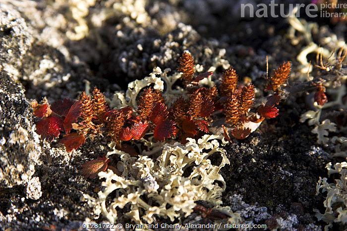 Reindeer lichen (Cladonia sp.) and the autumn russet catkins of Dwarf birch (Betula nana) on the tundra in Hurry Inlet. Scoresbysund, East Greenland, September.  ,  ARCTIC, EUROPE, FUNGI, Greenland, LICHENS, MOSS, SEEDS, TUNDRA,Plants  ,  Bryan and Cherry Alexander