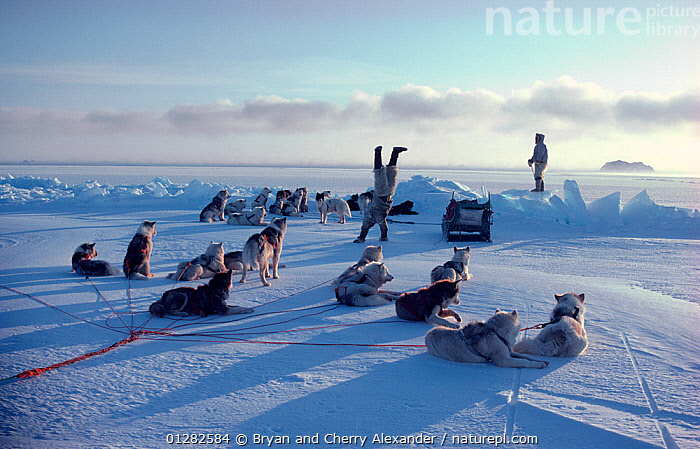 Excited Inuk Mamarut Kristiansen doing handstand on sea ice after successful hunt. Northwest Greenland, 1980.  ,  ARCTIC,CELEBRATIONS,DOGS,EUROPE,GREENLAND,HUNTING,ICE,MEN,PEOPLE,SEA,TRIBES  ,  Bryan and Cherry Alexander