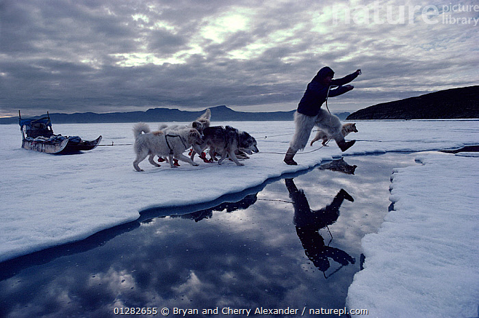 Inuit hunter Jacob Petersen jumping lead in summer sea ice, followed by Huskies (Canis familiaris). Qeqertat, Northwest Greenland, 1980  ,  ARCTIC,concepts,DOGS,dogsleds,dog sleds,EUROPE,FORTY BELOW BOOK,Greenland,huskies,ICE,JUMPING,MAN,PEOPLE,PETS,REFLECTIONS,sea,sledge,SNOW,SUMMER,TRIBES,VERTEBRATES,WATER,Canids  ,  Bryan and Cherry Alexander