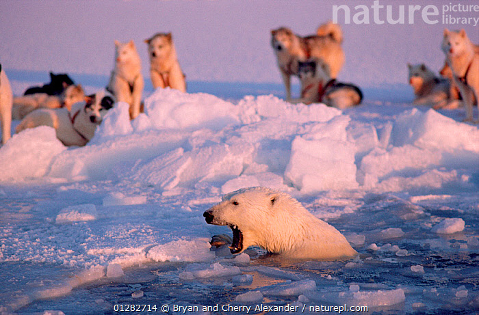 Polar bear (Ursus maritimus) in lead snarling at Huskies (Canis familiaris), Northwest Greenland.  ,  AGGRESSION,ARCTIC,BEARS,BEHAVIOUR,CARNIVORES,DEFENSIVE,DOGS,ENDANGERED,EUROPE,FORTY BELOW BOOK,Greenland,HUNTING FOOD,ICE,MAMMALS,MARINE,MIXED SPECIES,PETS,SNOW,VERTEBRATES  ,  Bryan and Cherry Alexander
