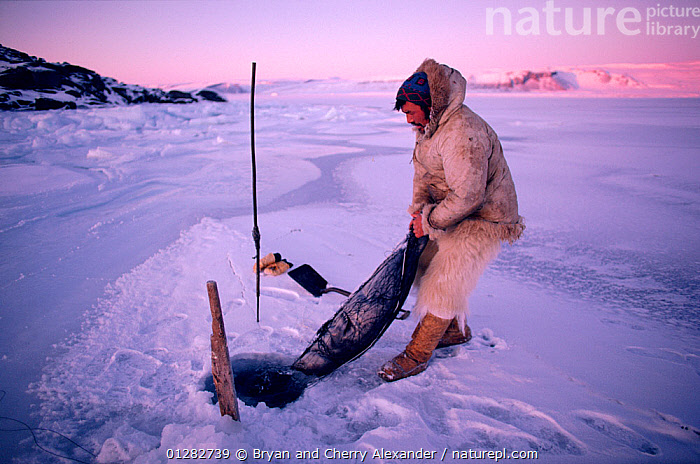 Inuit hunter with Ringed seal (Phoca hispida) caught in net under ice. Northwest Greenland.  ,  ARCTIC,CARNIVORES,CLOTHING,DEATH,EUROPE,GREENLAND,HOLE,HOLES,HUNTING FOOD,ICE,MAMMALS,MAN,MARINE,PEOPLE,PINNIPEDS,SEALS,SNOW,TRADITIONAL,TRIBES,VERTEBRATES  ,  Bryan and Cherry Alexander