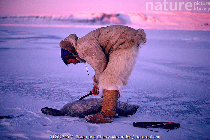 Inuit hunter skinning Ringed seal (Phoca hispida) out on sea ice. Northwest Greenland.  ,  ARCTIC,CARNIVORES,CLOTHING,DEATH,EUROPE,GREENLAND,HOLE,HOLES,HUNTING FOOD,ICE,MAMMALS,MAN,MARINE,PEOPLE,PINNIPEDS,SEALS,SKIN,SKINNING,SNOW,TRADITIONAL,TRIBES,VERTEBRATES  ,  Bryan and Cherry Alexander