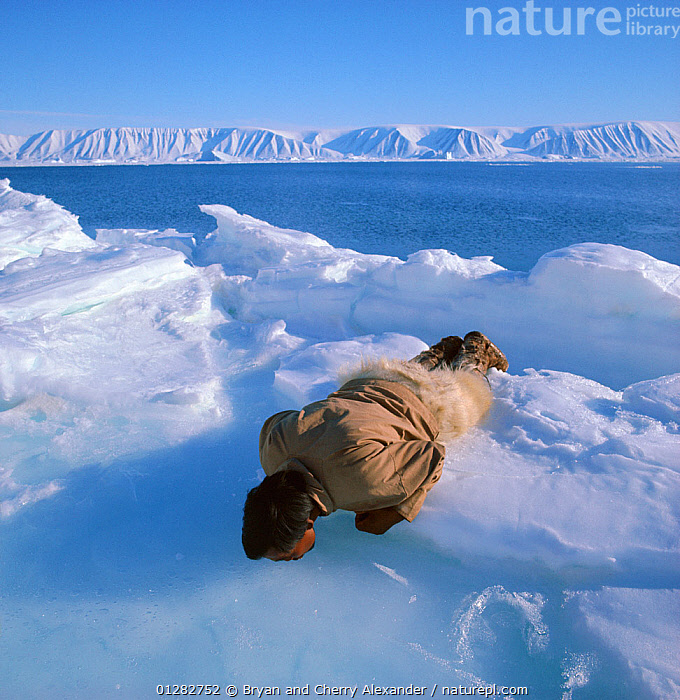 Inuit hunter Kigutikaq Duneq drinking from meltpool at ice edge, Northwest Greenland, 1971.  ,  ARCTIC,COASTS,DRINKING,EUROPE,FORTY BELOW BOOK,FRESHWATER,Greenland,ICE,ICEBERGS,MAN,PEOPLE,SQUARE ,TRIBES,WATER  ,  Bryan and Cherry Alexander