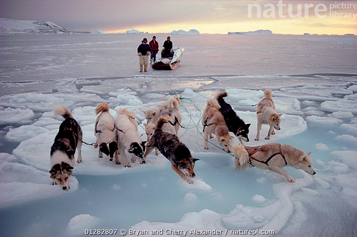 Inuit hunters watching Huskies (Canis familiaris) making their way to shore across new tidal ice. Savissivik, Northwest Greenland, 1991., ARCTIC,DOGS,DOGSLEDS,DOG SLEDS,DRAGGING,EUROPE,GREENLAND,HARNESSES,HUNTING,HUSKIES,ICE,LANDSCAPES,MEN,PEOPLE,PETS,PULLING,SEA ICE,SLEDGE,SLEDGES,SLEDS,TRIBES,VERTEBRATES,WET,WORKING DOGS,Canids, Bryan and Cherry Alexander