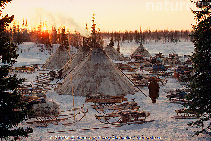 Sun rises behind Reindeer / Caribou skin tents at a Nenets herders' winter camp. Yamal, Siberia, Russia, 1993.- 40 BELOW BOOK  ,  ARCTIC,ASIA,CAMPING,FORTY BELOW BOOK,LANDSCAPES,PEOPLE,RUSSIA,Siberia,sledge,sledges,sleds,SNOW,tent,tents,TREES,TRIBES,WOODLANDS,CIS,PLANTS  ,  Bryan and Cherry Alexander