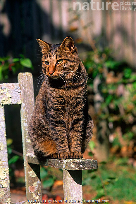 Fine Nature Picture Library Domestic Cat Kurile Island Bobtail Inzonedesignstudio Interior Chair Design Inzonedesignstudiocom
