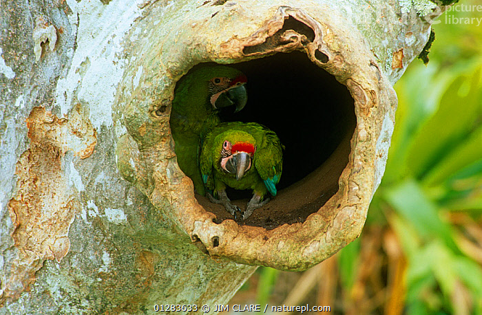 Buffon's / Great green macaw (Ara ambigua) chick in nest hole in Almendro tree, Costa Rica  ,  BIRDS,CENTRAL AMERICA,CHICKS,JUVENILE,MACAWS,NESTS,PARROTS,VERTEBRATES  ,  JIM CLARE