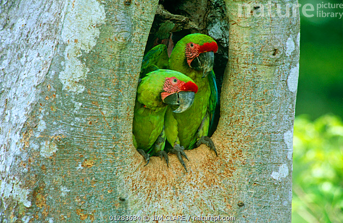 Buffon's / Great green macaw (Ara ambigua) adult pair in nest hole in Almendro tree, Costa Rica  ,  BIRDS,CENTRAL AMERICA,MACAWS,MALE FEMALE PAIR,NESTS,PARROTS,TWO,VERTEBRATES  ,  JIM CLARE