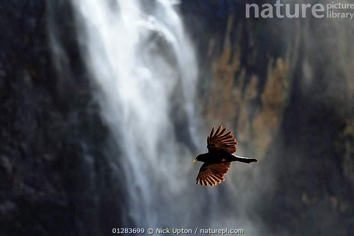 Alpine / Yellow-billed chough (Pyrrhocorax graculus) flying past waterfall and sheer cliffs of the Cirque de Gavarnie, Haute Pyrenees, France., animals in the wild,backlit,BIRDS,CATALOGUE2,CHOUGHS,Cirque de Gavarnie,CLIFFS,DRAMATIC,EUROPE,FLYING,focus on foreground,FRANCE,FREEDOM,Haute Pyrenees,MOUNTAINS,nature,Nobody,on the move,one animal,outdoors,pyrenees,RIVERS,selective focus,VERTEBRATES,WATER,waterfall,WATERFALLS,WILDLIFE,wings spread,Geology, Nick Upton
