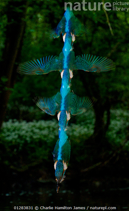 Kingfishers (Alcedo atthis) adult male diving, strobed flash, Halcyon River, England, ACTION,BEHAVIOUR,BRITISH,DIVING,EUROPE,FISHING,FLYING,FRESHWATER,HUNTING,MALES,PREDATION,RIVERS,SPEED,UK,VERTICAL,WATER, United Kingdom, Charlie Hamilton James