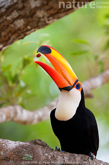 Toco toucan (Ramphastos toco) feeding, throwing nut into air to catch it in beak, Pantanal, Brazil.  ,  BEHAVIOUR,BIRDS,BRAZIL,FEEDING,HUMOROUS,SEEDS,SOUTH AMERICA,TOUCANS,TROPICAL RAINFOREST,VERTEBRATES,VERTICAL,Concepts  ,  Piper Mackay
