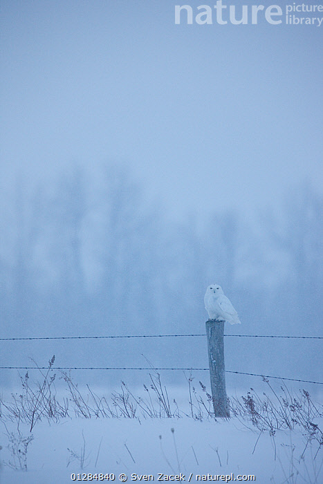 Snowy owl (Bubo scandiaca) perched on tree stump, in snow, Ontario, Canada.  ,  ATMOSPHERIC,bad weather,BIRDS,BIRDS OF PREY,CANADA,CATALOGUE2,DUSK,Evening,fence,fence post,fencing ,Field,Loneliness,low visibility,nature,Nobody,one animal,ontario,outdoors,OWLS,Perching,SNOW,VERTEBRATES,VERTICAL,WILDLIFE,WINTER,North America,Raptor  ,  Sven Zacek