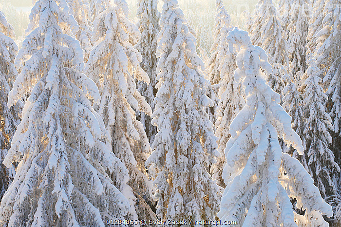 Spruce trees covered in snow (Picea abies) Winter, Estonia  ,  ABSTRACT, ATMOSPHERIC, CATALOGUE2, close up, CLOSE-UPS, COLD, CONIFERS, Estonia, EUROPE, Frozen, full frame, GYMNOSPERMS, LANDSCAPES, Nobody, outdoors, PINACEAE, PINES, PLANTS, SNOW, snow covered, TREES, WINTER  ,  Sven Zacek