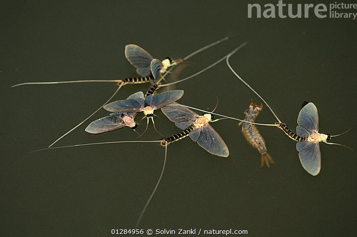 Just three hours after they hatch from the water and moult into mature adults, the male Long-tailed / Tisza mayfly (Palingenia longicauda) perish. Adult mayflies have no mouth opening and no guts. The dead animals slowly float downstream, sometimes congregating into flower-like clusters. River Tizsa, Hungary, Central Europe. June  ,  DEATH,EPHEMEROPTERA,EUROPE,FLOATING,FRESHWATER,HUNGARY,INSECTS,INVERTEBRATES,MALES,MATING,MATING BEHAVIOUR,MATURE,MAYFLIES,RIVERS,SURFACE,TEMPERATE,WATER  ,  Solvin Zankl