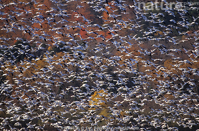 Large flock of Snow geese (Anser / Chen caerulescens) in flight, Cap Tourmente, Quebec, Canada, BACKGROUNDS, BIRDS, CANADA, Cap Tourmente, CATALOGUE2, flock of birds, FLOCKS, FLYING, full frame, GEESE, in the wild, large group of animals, many, mass, MIGRATION, nature, Nobody, on the move, outdoors, PATTERNS, Quebec, VERTEBRATES, WATERFOWL, WILDLIFE,North America, Eric Baccega