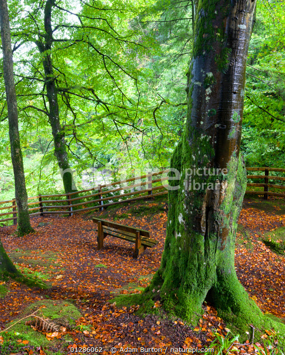 Secluded bench in beech woodland in Glenariff Forest Park, County Antrim, Northern Ireland. September 2008, absence,AUTUMN,beech tree,bench seat,benches,CATALOGUE2,County Antrim,damp,EMPTY,EUROPE,fallen leaves,fence,fences,footpath,forest,FORESTRY,FORESTS,Glenariff Forest Park,GREEN,green colour,LANDSCAPES,LEAVES,MOSS,nature,Nobody,northern ireland,outdoors,park bench,Parks,PEACEFUL,quiet,remote,tree trunk,TREES,UK,VERTICAL,woodland,WOODLANDS,PLANTS,United Kingdom, Adam Burton