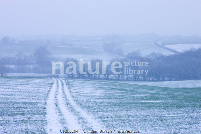 Rolling farmland with track across field during a winter blizzard, Morchard Bishop, Devon, England. February 2009, weather,AGRICULTURE,bad weather,Blizzard,CATALOGUE2,Devon,ENGLAND,FAMRLAND,FARMLAND,Field,HEDGEROWS,hillside,Imprint,LANDSCAPES,meteorology,Morchard Bishop,nature,Nobody,outdoors,SPRING,TREES,tyre track,UK,WEATHER,WINTER,woodland,Europe,PLANTS,United Kingdom, Adam Burton