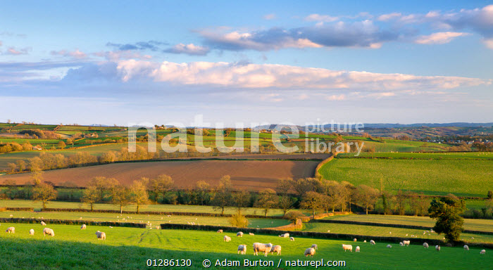 Sheep grazing in rolling green fields near Morchard Bishop, Devon, England. March 2009  ,  AGRICULTURE,COUNTRYSIDE,DOMESTIC SHEEP,EUROPE,FARMLAND,FIELDS,HEDGEROWS,LANDSCAPES,SPRING,TREES,UK,PLANTS, United Kingdom  ,  Adam Burton