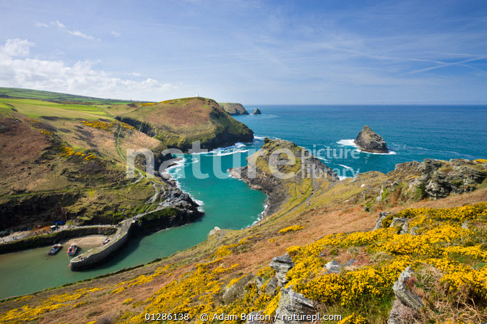 Boscastle Harbour from Penally Hill, North Cornwall, England. Spring, April 2009  ,  BEACHES,CHANNEL,COASTS,EUROPE,GORSE,HARBOURS,LANDSCAPES,QUAYS,SEA,SHELTERED,SPRING,UK,VILLAGES,WATER, United Kingdom  ,  Adam Burton
