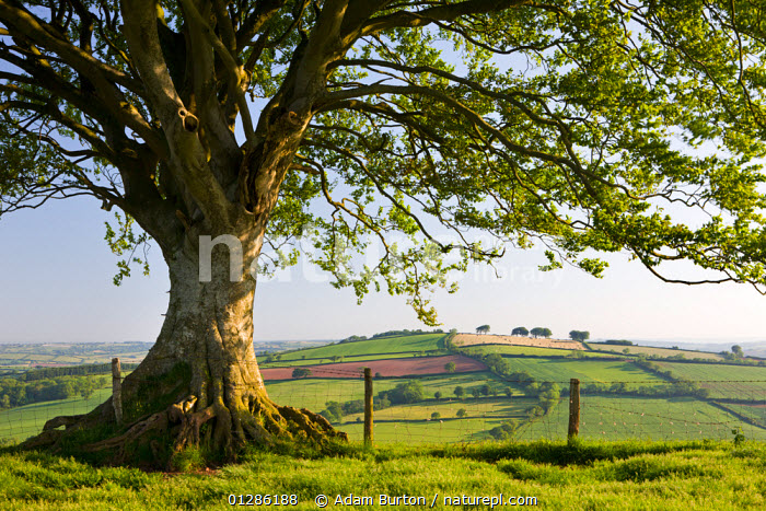 Rolling countryside and tree on Raddon Hill, Devon, England. June 2009, CATALOGUE2,COUNTRYSIDE,Devon,ENGLAND,EUROPE,FARMLAND,fence,fences,fields,GREEN,HEDGEROWS,hillside,LANDSCAPES,nature,Nobody,outdoors,pastoral,Raddon Hill,rural,Scenics,SPRING,SUMMER,Tree,TREES,UK,PLANTS,United Kingdom, Adam Burton