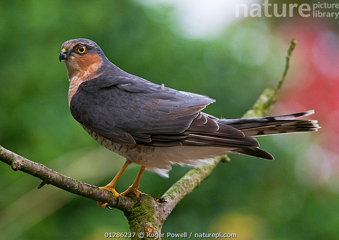 Portrait of a young male Sparrowhawk (Accipter nisus) on hunting perch in suburban garden, Northumberland, UK  ,  BIRDS,BIRDS OF PREY,ENGLAND,GARDENS,HAWKS,JUVENILE,MALES,UK,URBAN,VERTEBRATES,Europe, United Kingdom  ,  Roger Powell
