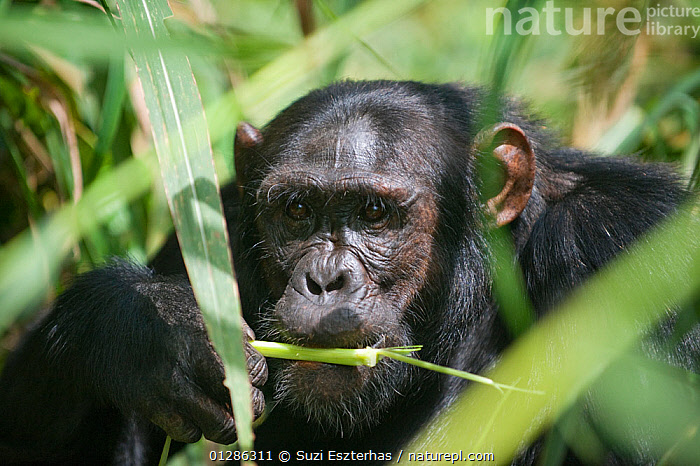 Juvenile Chimpanzee (Pan troglodytes) feeding on vegetation. Tropical forest, Western Uganda.  ,  AFRICA,BEHAVIOUR,CHIMP ,EAST AFRICA,ENDANGERED,FEEDING,FORAGING,GREAT APES,JUVENILE,MAMMALS,PLANTS,PRIMATES,TROPICAL RAINFOREST,UGANDA,VERTEBRATES,WESTERN UGANDA,YOUNG  ,  Suzi Eszterhas