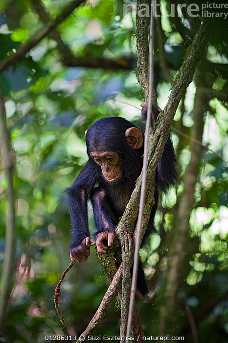 Infant Chimpanzee (Pan troglodytes) playing and climbing on vines. Tropical forest, Western Uganda.  ,  ACTINIDIA SP,AFRICA,BABIES,CLIMBING,EAST AFRICA,ENDANGERED,GREAT APES,JUVENILE,MAMMALS,PLAYING,PRIMATES,TROPICAL RAINFOREST,UGANDA,VERTEBRATES,VERTICAL,VINES,WESTERN UGANDA,YOUNG  ,  Suzi Eszterhas