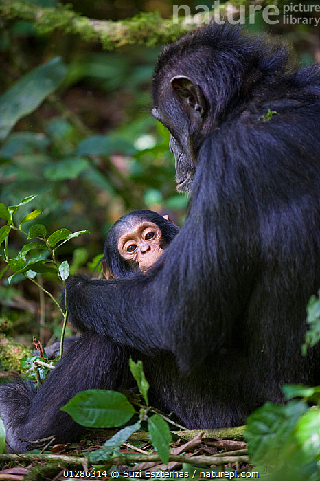 Mother Chimpanzee (Pan troglodytes) sitting, holding one year old infant. Tropical forest, Western Uganda.  ,  AFRICA,BABIES,CHIMP ,CUTE,EAST AFRICA,ENDANGERED,FAMILIES,GREAT APES,MAMMALS,MOTHER,PRIMATES,TINY,TROPICAL RAINFOREST,UGANDA,VERTEBRATES,VERTICAL,WESTERN UGANDA,YOUNG  ,  Suzi Eszterhas