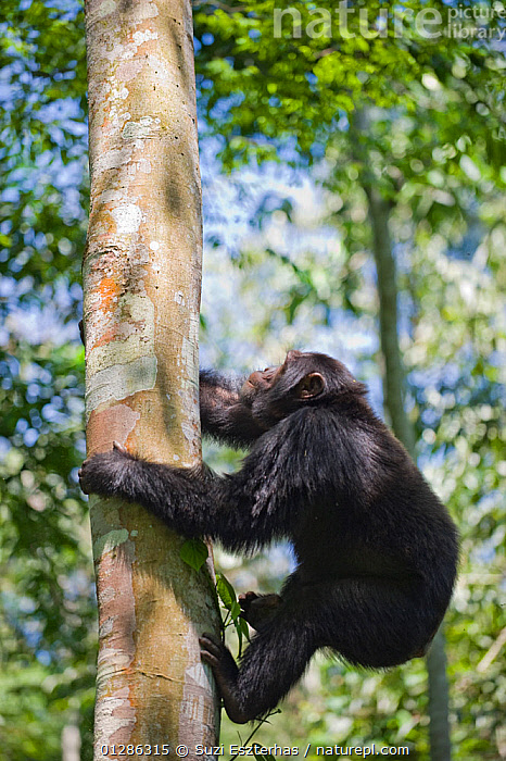 Chimpanzee (Pan troglodytes) climbing up tree, Tropical forest, Western Uganda.  ,  AFRICA,BEHAVIOUR,CLIMBING,EAST AFRICA,ENDANGERED,GREAT APES,MAMMALS,PRIMATES,TREES,TROPICAL RAINFOREST,UGANDA,VERTEBRATES,VERTICAL,WESTERN UGANDA,PLANTS  ,  Suzi Eszterhas