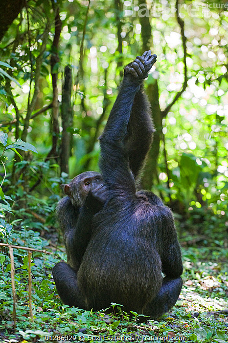 """Chimpanzees (Pan troglodytes) social grooming in morning sun, note """"hand clasp"""" grooming behaviour. Tropical forest, Western Uganda.  ,  AFRICA,BEHAVIOUR,BONDING,EAST AFRICA,ENDANGERED,GREAT APES,GROOMING,MAMMALS,MORNING,PRIMATES,TROPICAL RAINFOREST,UGANDA,VERTEBRATES,VERTICAL,WESTERN UGANDA  ,  Suzi Eszterhas"""