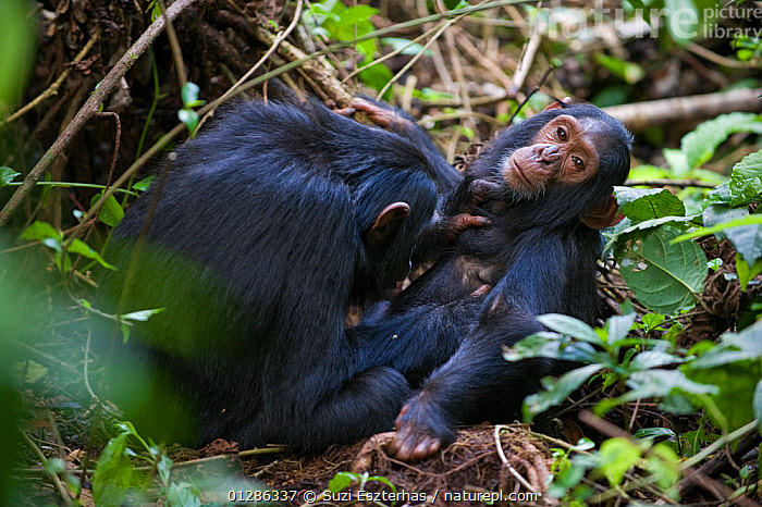 Sub-adult grooming chimpanzee (Pan troglodytes) younger sibling. Tropical forest, Western Uganda.  ,  AFRICA,BABIES,BEHAVIOUR,EAST AFRICA,ENDANGERED,FAMILIES,GREAT APES,GROOMING,JUVENILE,MAMMALS,PRIMATES,SOCIAL,TROPICAL RAINFOREST,UGANDA,VERTEBRATES  ,  Suzi Eszterhas