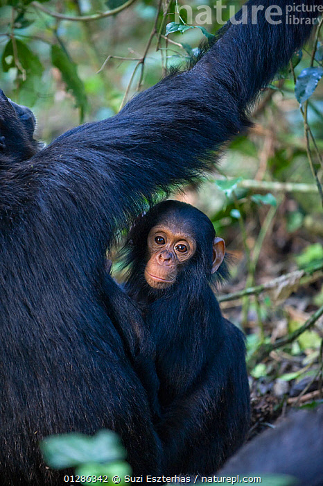 One year infant chimpanzee with mother (Pan troglodytes) Tropical forest, Western Uganda.  ,  AFRICA,BABIES,EAST AFRICA,ENDANGERED,FAMILIES,FEMALES,GREAT APES,MAMMALS,MOTHER,PRIMATES,TROPICAL RAINFOREST,VERTEBRATES,VERTICAL  ,  Suzi Eszterhas