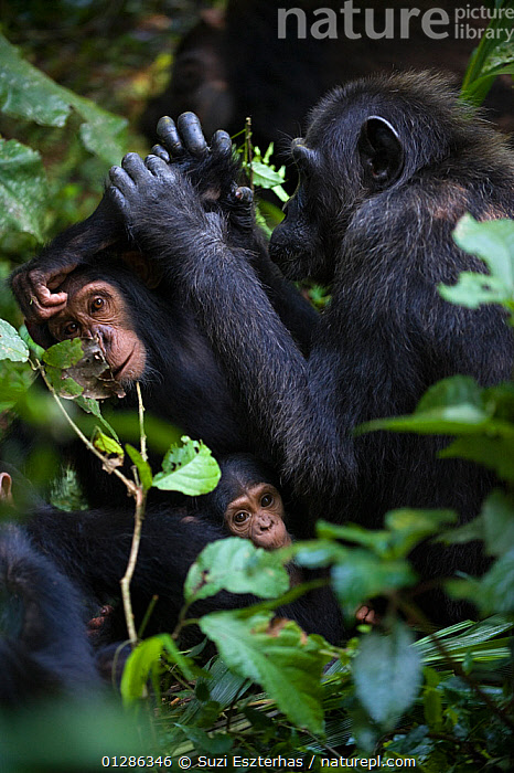 Mother Chimpanzee (Pan troglodytes) grooming her three-year offspring with her three-month baby in foreground. Tropical forest, Western Uganda.  ,  AFRICA,BABIES,BEHAVIOUR,EAST AFRICA,ENDANGERED,FAMILIES,GREAT APES,GROOMING,GROUPS,MAMMALS,MOTHER,PRIMATES,SIBLINGS,SOCIAL BEHAVIOUR,TROPICAL RAINFOREST,VERTEBRATES,VERTICAL,WESTERN UGANDA,YOUNG  ,  Suzi Eszterhas