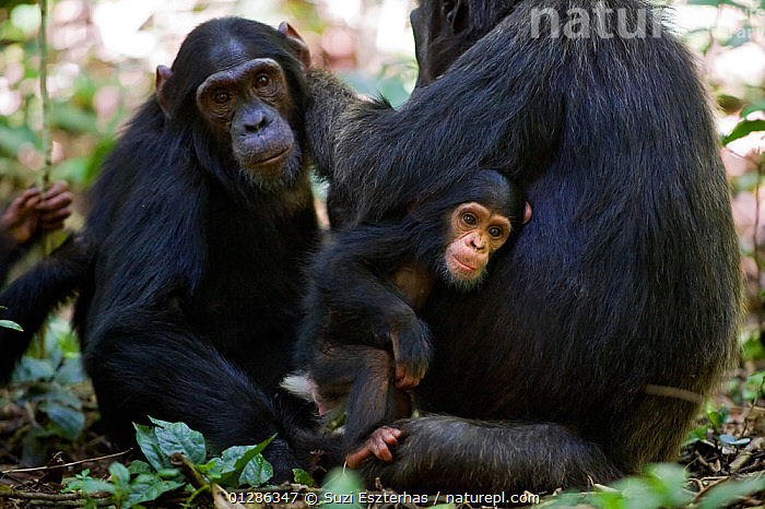 Mother Chimpanzee (Pan troglodytes) with three month old infant in lap grooming sub-adult offspring, tropical forest, Western Uganda.  ,  AFRICA,BABIES,BEHAVIOUR,EAST AFRICA,ENDANGERED,FAMILIES,GREAT APES,GROOMING,JUVENILE,MAMMALS,MOTHER,PRIMATES,SOCIAL,TROPICAL RAINFOREST,VERTEBRATES  ,  Suzi Eszterhas