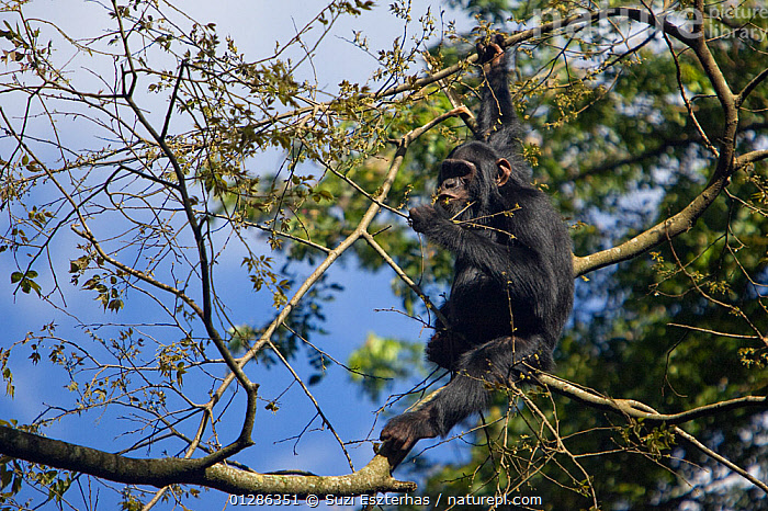 Chimpanzee (Pan troglodytes) feeding on leaves in tree. Tropical forest, Western Uganda.  ,  AFRICA,BEHAVIOUR,CLIMBING,EAST AFRICA,ENDANGERED,FEEDING,FORAGING,GREAT APES,MAMMALS,PRIMATES,TROPICAL RAINFOREST,VERTEBRATES  ,  Suzi Eszterhas