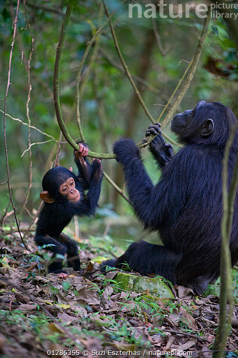 Mother chimpanzee (Pan troglodytes) and one year  infant playfully pulling on vines. Tropical forest, Western Uganda.  ,  ACTINIDIA SP,AFRICA,BABIES,CUTE,EAST AFRICA,ENDANGERED,FAMILIES,FEMALES,FUN,GREAT APES,MAMMALS,MOTHER,PLAY,PRIMATES,TROPICAL RAINFOREST,VERTEBRATES,VERTICAL,Communication  ,  Suzi Eszterhas