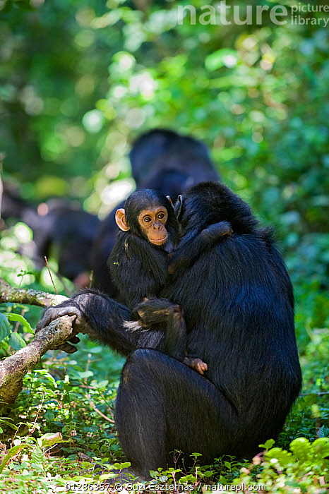 Mother chimpanzee (Pan troglodytes) carrying her one year old infant. Tropical forest, Western Uganda.  ,  AFRICA,BABIES,EAST AFRICA,ENDANGERED,FAMILIES,FEMALES,FORESTS,GREAT APES,JUVENILE,MAMMALS,MOTHER BABY,PRIMATES,SITTING,TROPICAL RAINFOREST,VERTEBRATES,WESTERN UGANDA  ,  Suzi Eszterhas