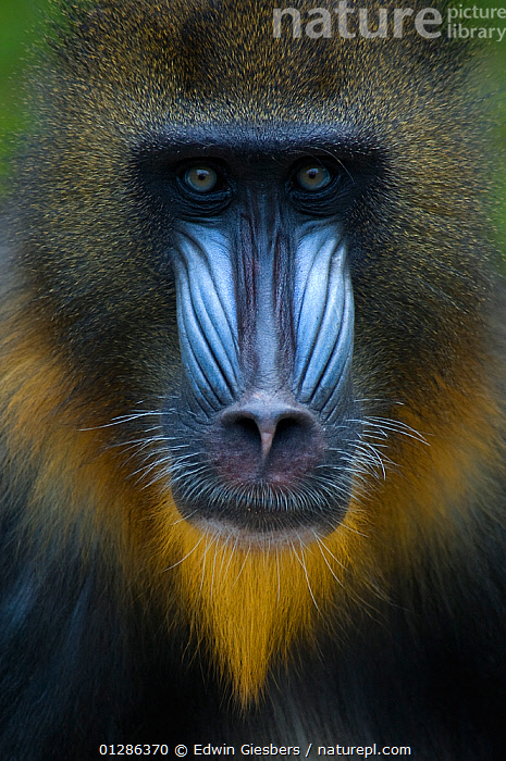 Head portrait of male Mandrill (Mandrillus sphinx) Captive. Apenheul zoo; the Netherlands.  ,  animal head,animal nose,Apenheul zoo,BABOONS,captive,captive animal,CATALOGUE2,close up,CLOSE UPS,COLOURFUL,confrontational,EXPRESSIONS,FACES,HEADS,looking at camera,male animal,MALES,MAMMALS,mandrills,MONKEYS,netherlands,NOSES,one animal,PORTRAITS,PRIMATES,serious,staring,VERTEBRATES,VERTICAL,whiskers,WILDLIFE  ,  Edwin Giesbers