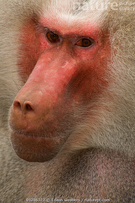 Head portrait of male Hamadryas baboon (Papio hamadryas) Captive. Apenheul zoo; the Netherlands.  ,  BABOONS,CLOSE UPS,EXPRESSIONS,MALES,MAMMALS,MONKEYS,PORTRAITS,PRIMATES,VERTEBRATES,VERTICAL  ,  Edwin Giesbers