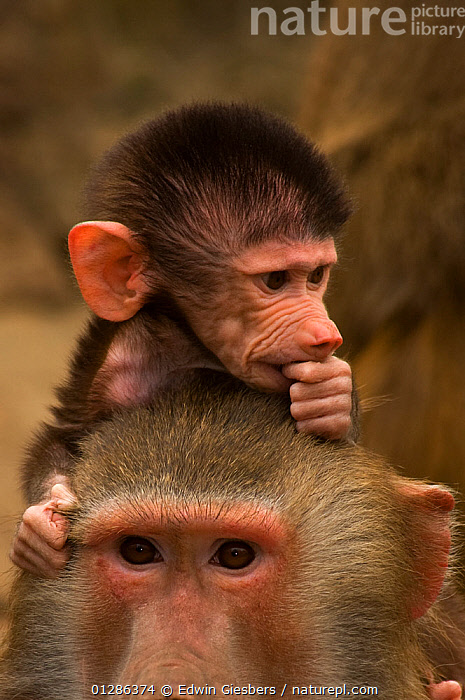 Young Hamadryas baboon (Papio hamadryas) perched on mothers back. Captive. Apenheul zoo; the Netherlands.  ,  BABIES,BABOONS,EXPRESSIONS,FAMILIES,MAMMALS,MONKEYS,PORTRAITS,PRIMATES,VERTEBRATES,VERTICAL,YOUNG  ,  Edwin Giesbers