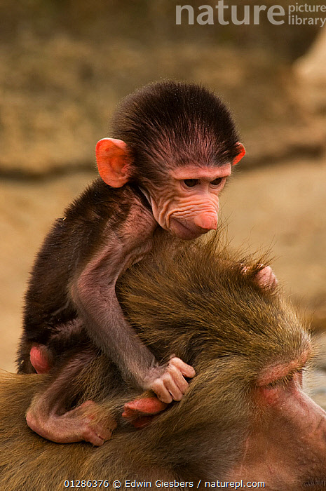 Young Hamadryas baboon (Papio hamadryas) perched on mothers back. Captive. Apenheul zoo; the Netherlands.  ,  BABIES,BABOONS,CAPTIVE,CUTE,FAMILIES,FEMALES,MAMMALS,MONKEYS,PORTRAITS,PRIMATES,VERTEBRATES,VERTICAL,YOUNG  ,  Edwin Giesbers