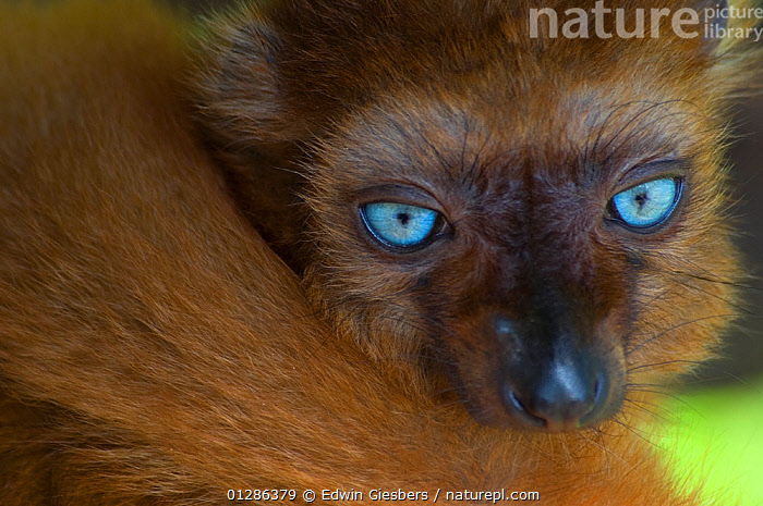 Sclater's black lemur (Eulemur macaco flavifrons) Captive, the Netherlands. Critically Endangered.  ,  BLUE,BLUE EYES,CLOSE UPS,CRITICALLY ENDANGERED,ENDANGERED,EYES,LEMURS,MAMMALS,PORTRAITS,PRIMATES,VERTEBRATES  ,  Edwin Giesbers