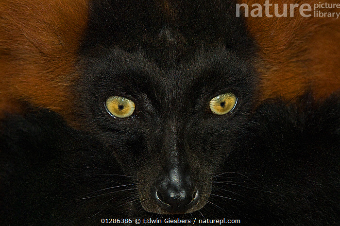 Portrait of Red ruffed lemur (Varecia variegata ruber) Captive, Netherlands.  ,  alert,animal face,BLACK,captive,captive animal,CATALOGUE2,close up,CLOSE UPS,CRITICALLY ENDANGERED,EXPRESSIONS,EYES,FACES,facial expression,LEMURS,looking at camera,MAMMALS,netherlands,Nobody,one animal,PORTRAITS,PRIMATES,staring,VERTEBRATES,whiskers,WILDLIFE,yellow eyes  ,  Edwin Giesbers
