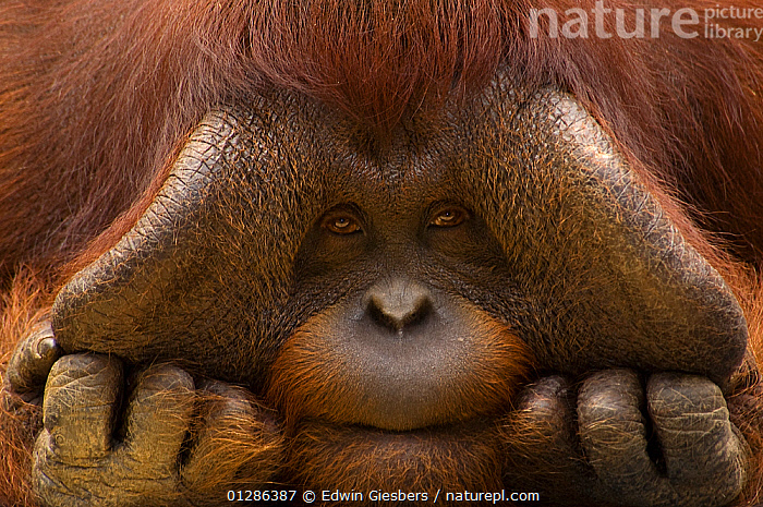 Close up face portrait of male Orang Utan (Pongo pygmaeus) Captive, Netherlands  ,  animal face,captive,captive animal,CATALOGUE2,chubby ,close up,CLOSE UPS,Curious,ENDANGERED,EXPRESSIONS,FACES,fingers,GREAT APES,HANDS,HUMOROUS,looking at camera,male animal,MALES,MAMMALS,Nobody,one animal,ORANGUTAN,PORTRAITS,PRIMATES,SAD,thinking,thoughtful,Concepts  ,  Edwin Giesbers