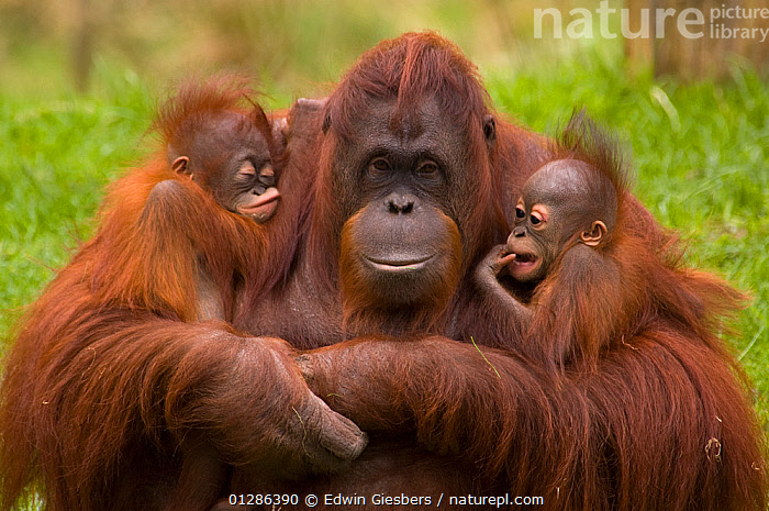 Female Orang Utan (Pongo pygmaeus) sitting, holding two young. One is her own offspring, the other was rejected by its birth mother, and so this female has adopted it. Both young are 3 months old.Captive, Netherlands.  ,  AFFECTIONATE,BABIES,BEHAVIOUR,CUTE,ENDANGERED,FAMILIES,FEMALES,GREAT APES,HOLDING,JUVENILE,MAMMALS,MOTHER BABY,ORANGUTAN,PRIMATES,SLEEPING,YOUNG,concepts  ,  Edwin Giesbers