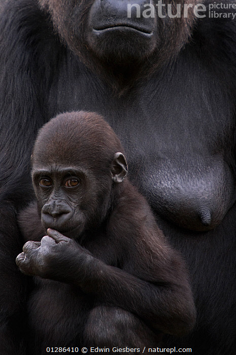 Young Western lowland gorilla (Gorilla gorilla gorilla) with mother. Endangered species. Captive; Apenheul zoo; the Netherlands.  ,  BABIES,CAPTIVE,CUTE,ENDANGERED,EXPRESSIONS,FAMILIES,FEMALES,GREAT APES,LACTATING,LOWLAND,MAMMALS,NURSING,PORTRAITS,PRIMATES,VERTEBRATES,VERTICAL  ,  Edwin Giesbers